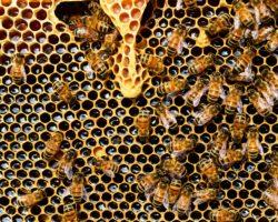 Bienen in Wabe