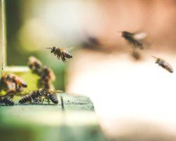 Bienen im Anflug auf Flugloch